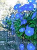 Іпомея блакитна