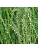 Насіння Райграс сенокосный багаторічний посівної мішок 50кг
